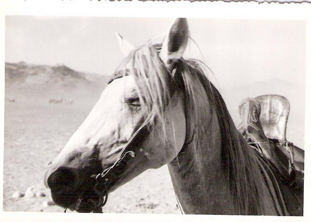 cheval barbe.jpg