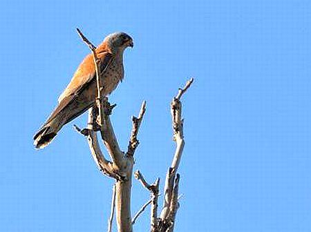 Lesser Kestrel Falco naumanni.faucon region el hajeb.jpg