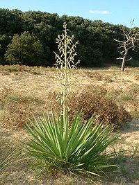 Yucca_gloriosa.jpg