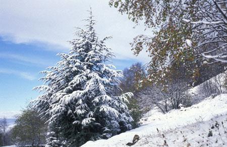 Cédre-neige.10.10.09.jpg