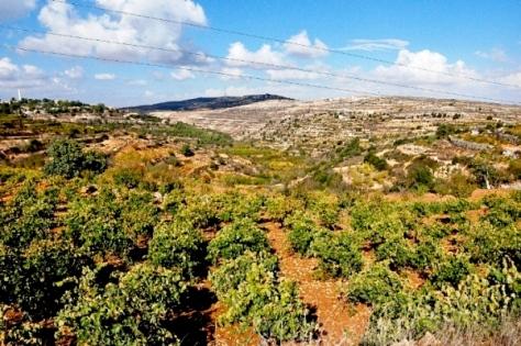 UNE CERISERAIS EN ISRAEL.JPG