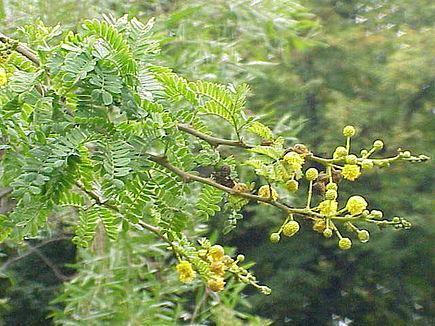 Acacia karroo1.jpg